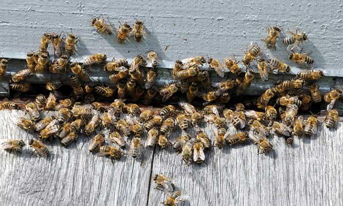 beeswasps